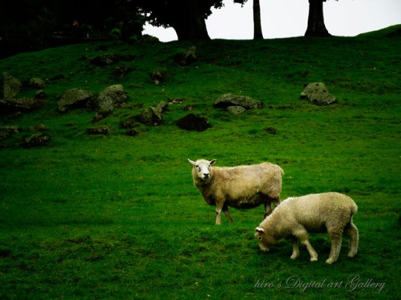 Sheep in Cornwell Park