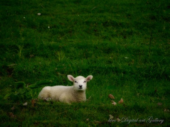 Sheep in Cornwell Park 2