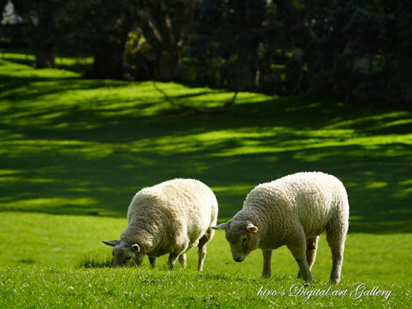 Sheep in Cornwell Park 3